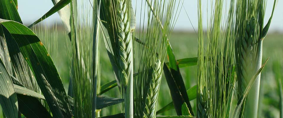 Espiga de trigo verde, protegido por el fondo de aseguramiento